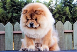 chow-chow andy