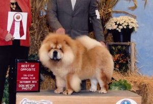 chow-chow chelsea