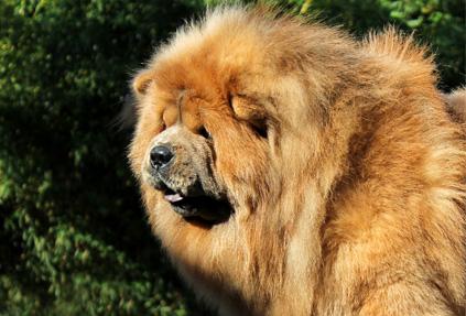 chow-chow leão