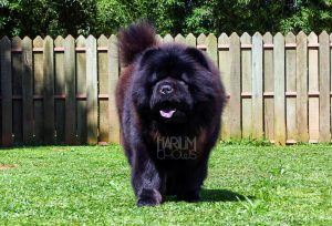 chow-chow schelby