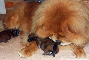 filhotes de chow-chow canil harilim