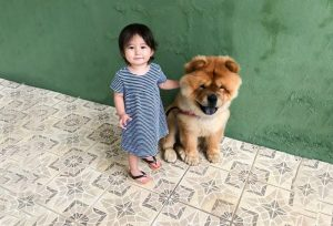 temperamento chow-chows